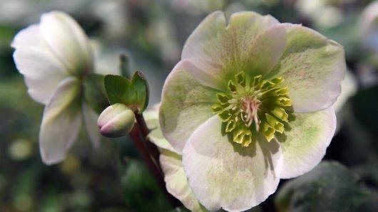 Christrosen (Helleborus-Hybride) blühen auch bei Temperaturen um den Gefrierpunkt.