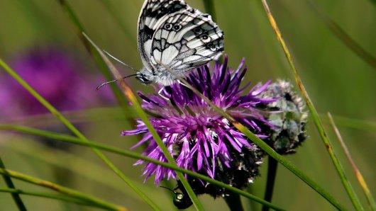 Rund 50 verschiedene Tagfalter gibt es auf dem Schmetterlingspfad in Willebadessen zu bestaunen, zum Beispiel den Schachbrettfalter.