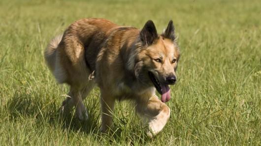 Solch ein Schäferhund-Mischling attackierte in einem Garten auf seine Besitzerin.