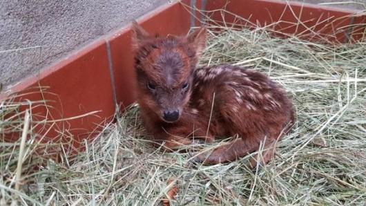 Im Zoo Dortmund erblickte ein kleines Pudu das Licht der Welt.