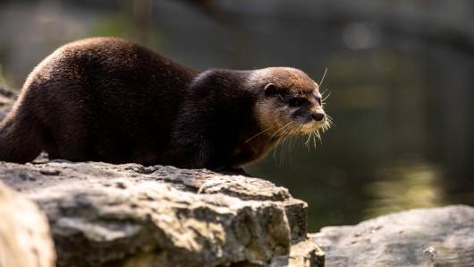 Zwergotter sind auch im Dortmunder Zoo zu sehen.