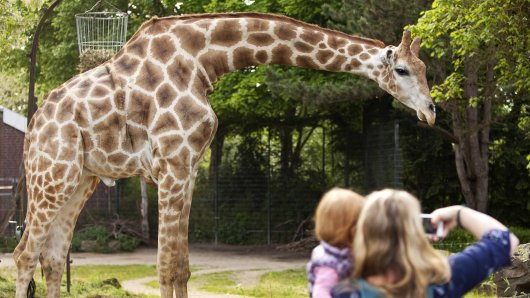 Der Zoo Dortmund hat Zuwachs bekommen! Eine neue Giraffe ist angekommen. (Symbolbild)