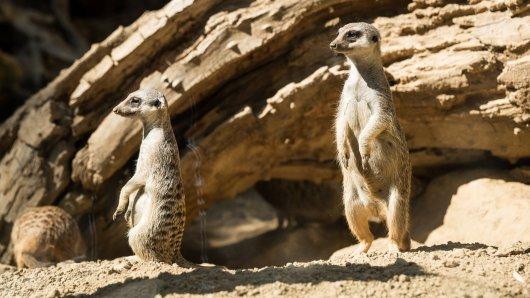 Zoo Dortmund: Die Erdmännchen profitierten von dem Meilenstein besonders.