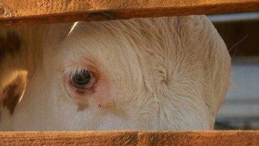 In Werne bei Dortmund wurden kranke Kühe und Kälber systematisch und grausam misshandelt.
