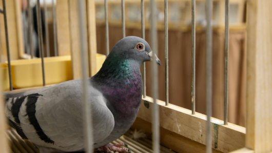 Was eine Frau den Tauben antat, ist einfach grausam. (Symbolbild)