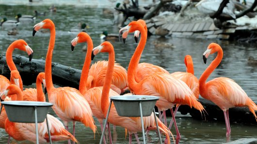 Die Flamingos im Duisburger Zoo müssen wegen der Vogelgrippe umziehen.