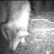 Der Wolf war in Walsum vor eine Wildkamera gelaufen.