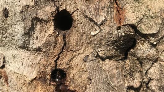 Große Löcher wurden in die Bäume im Duisburger Stadtgebiet gebohrt.