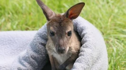 Känguru Lizzy wird jetzt von ihrem Papa gepflegt.