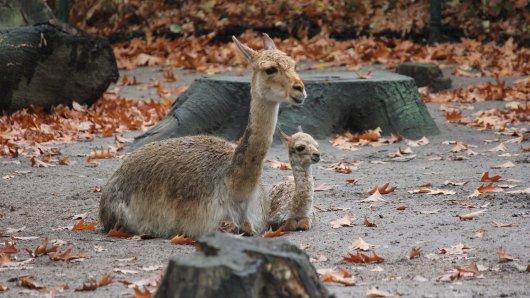 Noch ein wenig verschlafen aber gesund blicken die kleinen Vikunjas im Zoo Duisburg drein.