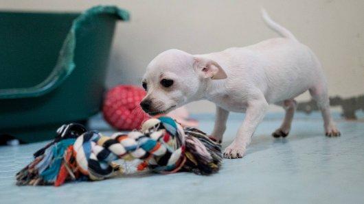 Eine Duisburgerin wollte im Internet einen Chihuahua kaufen. (Symbolbild)