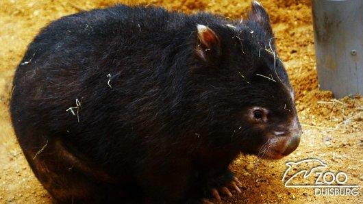 Der Zoo Duisburg trauert um Wombat Allinta.