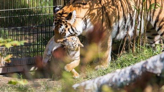 Vor fünf Jahren kamen im Zoo Duisburg auch schon die beiden sibirischen Tiger Makar und Arila zur Welt. Hier konnten die Besucher schon einen Blick erhaschen. (Archivbild)