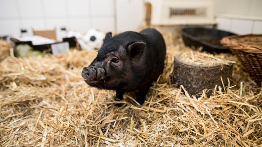 Schweinchen Schnitzel wurde im Tierheim Essen abgegeben.