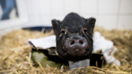 Schweinchen Schnitzel alias Prinzessin Mononoke hat ein neues Zuhause gefunden.