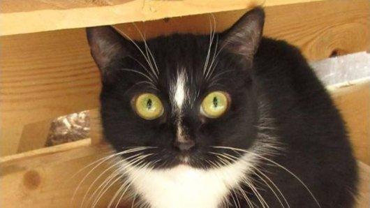 Seit über einem Jahr Tierheim Essen: Katze Piffy sucht schon lange nach einem Zuhause.