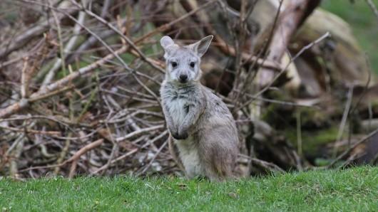 Ein kleines Känguru hüpft durch Essen – es ist vor zwei Wochen abgehauen. (Symbolfoto)