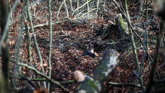Unbekannte haben im Krupp-Wald Bäume im Wert von mehreren Tausend Euro professionell abgeholzt.