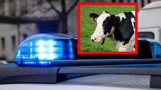 Eine freilaufende Kuh sorgte am Dienstagabend für Aufregung in Essen-Werden. (Symbolbild)