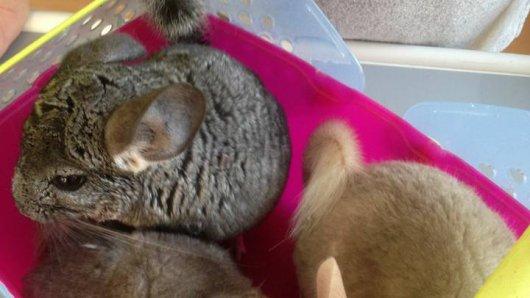 Drei unterkühlte Chinchillas wurden heute morgen vor einer Garageneinfahrt gefunden.