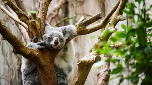 Entspannt abhängen wie dieses Koala im Duisburger Zoo, oder sportlich aktiv werden: wir haben die Sommerferien-Highlights für dich.