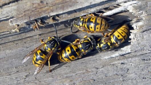 Wespen sind immer dort, wo es Nahrung gibt. (Symbolbild)