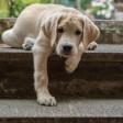 Zwei Familienhunde finden sich in der Top-Five der beliebsten Hunderassen wieder.
