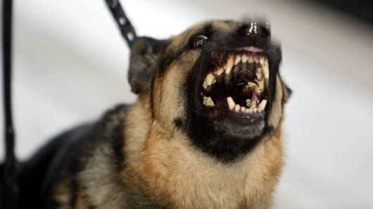 Deutscher Schäferhund Duke verteidigte heldenhaft sein Herrchen, doch kam dabei selbst beinah ums Leben. (Symbolfoto)
