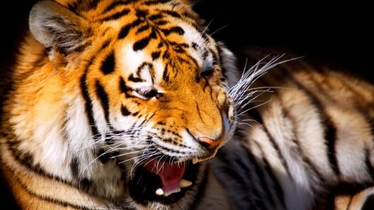 Im Londoner Zoo wurde das Tiger-Weibchen Melati durch ihren neuen Nachbar Tiger Asim tragischerweise getötet. (Symbolfoto)