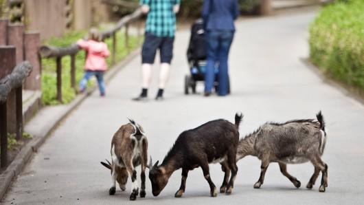 Ziegen im Zoo Dortmund werden immer wieder von Besuchern attackiert, berichtet Zoodirektor Frank Brandstätter.