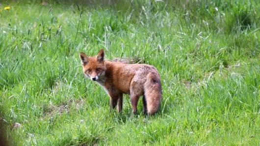 Auf dem Bild schaut der Fuchs noch in die Kamera, wenige Sekunden später trifft ihn eine Kugel.