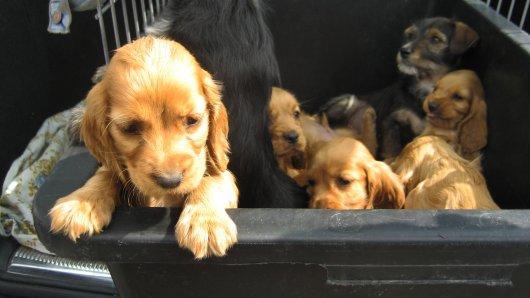 In Coesfeld entdeckte die Polizei einen Wagen mit darin eingesperrten Hundewelpen. (Symbolbild)