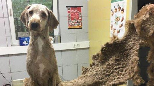 Die Hunde hatten teils stark verfilztes Fell, Läuse und Krankheiten. Mehrere Tierheime kümmern sich nun um die 136 Fellnasen.