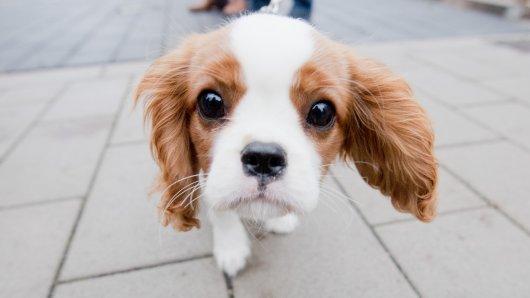 Die Polizei warnt Hunde-Besitzer vor Giftködern in NRW. (Symbolbild)
