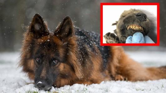 Der Hund, der in Sibirien entdeckt wurde, soll 18.000 Jahre alt sein. (Symbolbild)