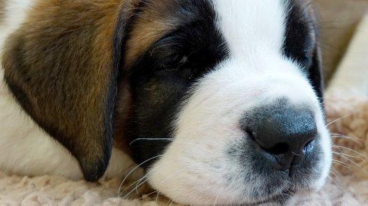 Hund: Ein Bernhardiner musste unter einer Straßenbahn gerettet werden. (Symbolbild)
