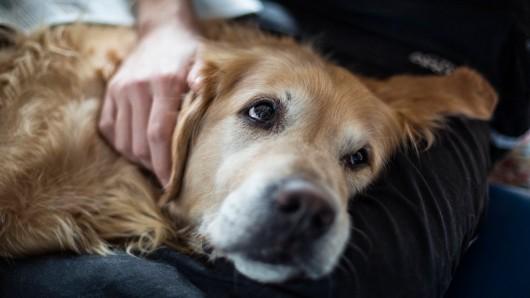 Der Golden Retriever Brody hat sein Herrchen ganz schön gefordert. (Symbolfoto)