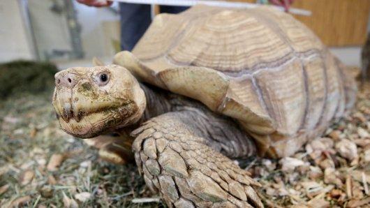 Zoom Gelsenkirchen: Die 24-jährige Schildkröte Helmuth bereitet den Tierpflegern zurzeit Sorgen.