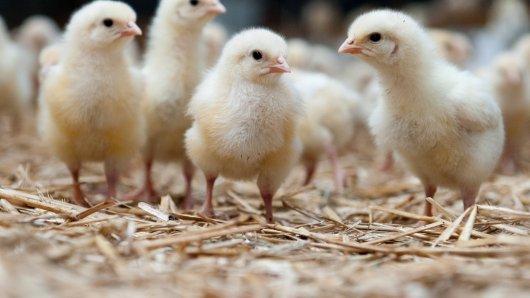 In der Hühnermast werden große Mengen Antibiotika verabreicht.