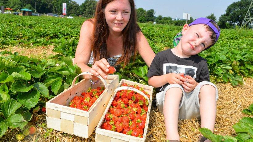 Erdbeeren PflГјcken Witten