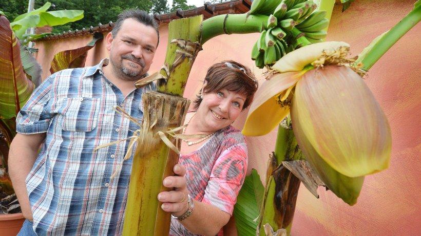 herner ehepaar kann bananen aus eigenem garten ernten nachrichten aus herne und wanne eickel. Black Bedroom Furniture Sets. Home Design Ideas