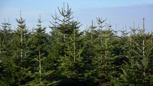 Landwirt Hermann Appelbaum baut Weihnachtsbäume an.