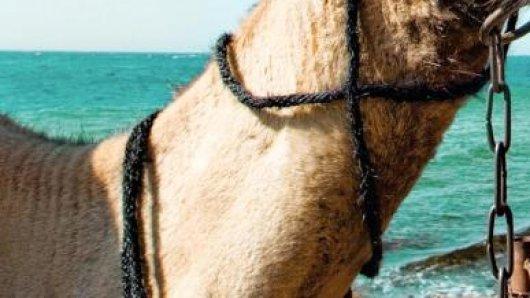 Kamelreiten am Strand:Ägypten zieht wieder mehr Urlauber an - Thomas Cook und Neckermann bieten daher mehr Flüge im kommenden Winter an.