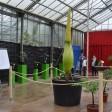 Im großen Seerosenhaus des Botanischen Gartens der Ruhr-Uni steht diese prächtige Titanenwurz, die bald blühen wird.
