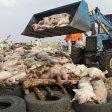 Um die weitere Ausbreitung der Afrikanischen Schweinepest zu verhindern, werden in der Nähe der russischen Stadt Rostow-na-Donu tote Schweine verbrannt.