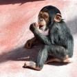 Zum Knuddeln: Schimpansen-Kind Dayo aus der ZOOM Erlebniswelt im Jahr 2016.
