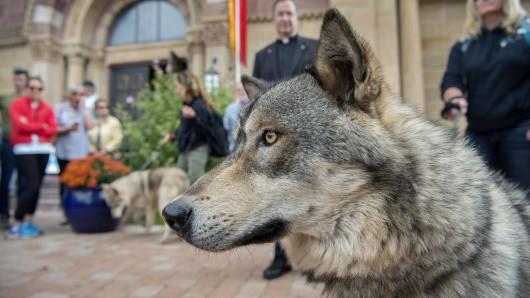 """In Thüringen wurden gezielt drei Wolf-Hund-Hybride getötet, um die Art des Wolfs zu schützen. Im Bild: Ein amerikanischer Hybride namens """"Spirit""""."""