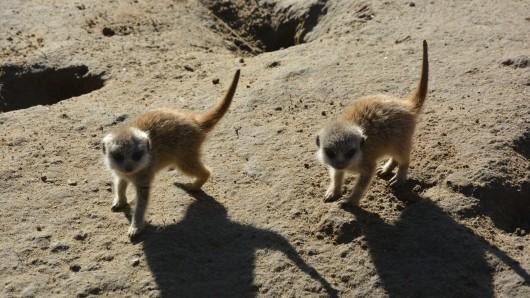 Im Tierpark und Fossilium Bochum sind Erdmännchen zur Welt gekommen.