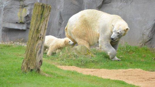 Eisbärmutter Lara und ihr Töchterchen Nanook auf einem Ausflug in der Zoom Erlebniswelt.