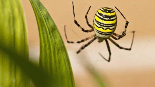 Eine solche Wespenspinne hat ein Leser der Westfälischen Nachrichten kürzlich in seinem Garten entdeckt. (Symbolbild)